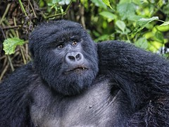 Mountain gorill, Rwanda (J-C-M) Tags: expressive face mountain gorilla volcanoes national park rwanda