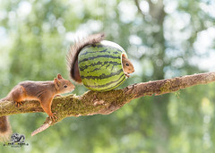 red squirrel on a branch with watermelon (Geert Weggen) Tags: agriculture animal backgrounds closeup colorimage crop cultivated cute dirt environment environmentalconservation environmentaldamage environmentalissues food freshness gardening global greenhouse growth harvesting healthyeating horizontal humor lifestyles mammal nature newlife nopeople organic outdoors photography planetspace planetearth plant pollution red rodent seed socialissues springtime squirrel summer tomato vegetable garden watermelon tree branch geert weggen jämtland sweden bispgården ragunda