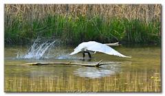 Les cygnes au bord de l'eau. (Bob_Reinert) Tags: wildlife étang pond d800 envol spring printemps swan cygnes basrhin nikon nature french france alsace water eau bobreinert birds oiseaux
