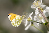 Anthocharis cardamines (tarjangz) Tags: anthocharis cardamines orange tip butterfly europe hungary insect wild nature outdoor fly wings yellow white flower