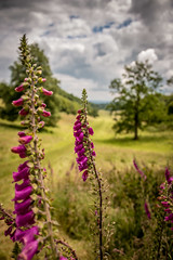 Foxgloves at Stourhead in Wiltshire (Dom Haughton) Tags: foxglove foxgloves flowers wildflowers nationaltrust stourheadestate stourhead landscapephotography landscape westcountryclickers wiltshire outdoor estate trees tree treescape hiking