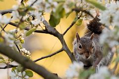 Squidge (Airwolfhound) Tags: baldock hertfordshire garden squirrel squidge blossom