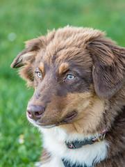 Portrait of Otis (A.Bruhin) Tags: uster zürich schweiz ch portrait dog puppy outdoor australian shepherd gooddog nikon d500 105mm