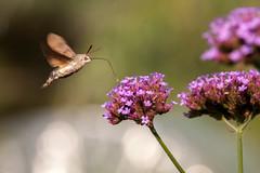 Le sphinx colibri (clamar18) Tags: fleur jardin mérysurcher mauve flower 500d canon butterffly insecte vierzon france