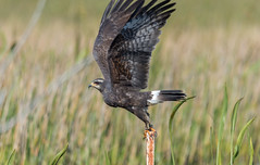 Snail kite (Milan des marais) (miro_mtl) Tags: attente d7200 kite nikon nikond7200 outdoors rostrhamussociabilis snailkite tmgoodwin tmgoodwinwaterfowlmanagementarea tamron tamronsp150600mm usa aigle america amerique atlantic atlantique bird birdofprey bluesky chasse eagle flight florida hawk hunting marsh nature oiseau oiseaudeproie printemps sky spring waiting wetlands wildlife wings milandesmarais milan rochon michelrochon