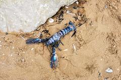 Lobster (timnutt) Tags: hunstanton resort beach ocean lobster nature animal crustacean seafood coast seaside sea norfolk uk england eastanglia