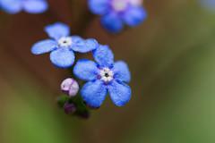 Forget-Me-Not (brandon_gerringer) Tags: forgetmenot blueflowers blue flower flowers flowerphotography floral botanical macro macrophotography bokeh nature naturephotography canon