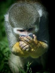Common Squirrel Monkey (Saimiri sciureus) covering its mouth with its hands (Wade Tregaskis) Tags: animalia cebidae chordata commonsquirrelmonkey haplorhini mammalia plant plantae primate primates saimiri saimirisciureus simian simiiformes squirrelmonkey animal grass mammal
