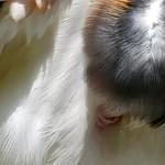 DSCN3660 vautour pape 01 (vif) -ZooJP thumbnail