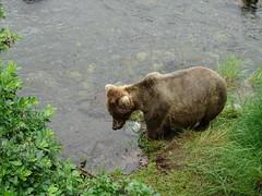 DSC07522 (jrucker94) Tags: alaska katmai katmainationalpark nationalpark bear bears grizzly grizzlybear brooksriver nature outdoors
