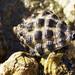 Slurping up the barny - Mulberry whelk - Morula marginalba #marineexplorer