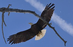 MRC_9281 Bald Eagle on the fly (Obsies) Tags: baldeagle eagle alaska bird birdsinflight nikon d5 aguila aguilacalva