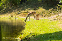 Thirsty (Leo Kramp) Tags: websitedieren natuur manfrotto3wayheadmhxpro3w gitzogt3542ltripod nature loweproflipside300awii flickr amsterdamsewaterleidingduinen zoogdieren accessoires wandelen calf kenkocirculairpolarisationfilterpro1dcpol77mm 2018 natuurfotografie dieren damhert deer kalf bentveld noordholland nederland nl leo kramp leokramp wwwleokrampfotografienl leokrampfotografie