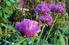 May in the Garden (Mark Wordy) Tags: mygarden springflowers may alliums universe papaver orientale pattysplum purple flowers poppy