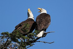 Together in harmony.... :) (Paridae) Tags: eagle baldeagle baldeagleadult matedpairofbaldeagles eaglesofbowser birdsofbritishcolumbia birdsofprey birdsofafeather bowser shoreline haliaeetusleucocephalus harmony thingswithwings featheredfriends afewofmyfavouritethings canoneos1dx canon500mm bonding