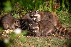 130A0985 (Ricky Floyd) Tags: raccoon canon