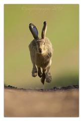 Wheels up...!! 😂 (cheffievrs) Tags: 1dxmarkii bokeh borderfx brownhare canon closetohome cute ef600mmf4lisii lepuseuropaeus leveret mammal nature warwickshire wild wildlife