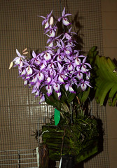 Barkeria spectabilis species orchid (nolehace) Tags: barkeria spectabilis species orchid 618 fragrant spring nolehace sanfrancisco fz1000