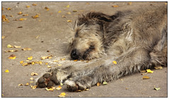 Taking a Nap (Audrey A Jackson) Tags: canon60d ireland sleeping tired fur paws leaves