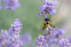Busy Bee (soupie1441) Tags: lavender sparta ontario canada steedco violet purple nikon d750 105mm nature bumblebee pollen bee