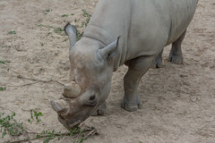 kibbibi browses - Cleveland Zoo (Tim Evanson) Tags: clevelandzoo clevelandmetroparks clevelandmetroparkszoo clevelandohio zoo dicerosbicornismichaeli easternblackrhino rhino blackrhino
