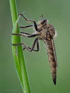 Schlichte Raubfliege (Machimus rusticus) Weibchen