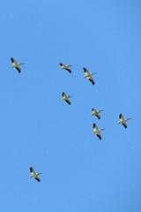 American White Pelicans (Boulder Flying Circus Birders) Tags: americanwhitepelican pelecanuserythrorhynchos americanwhitepelicancolorado americanwhitepelicanboulder wildbirdboulder wildbirdcolorado boulderflyingcircusbirders freebirdwalk saturdaymorningbirders niwothighschool niwot colorado stevefrye