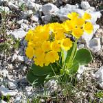 Primula auricula  - Fels-Aurikel - 20180621 - P1120083 thumbnail