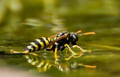 _DSC4300bab2 (lexlupus) Tags: wasp wespen wespe