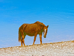 A Secret Admirer (VGPhotoz) Tags: vgphotoz reflections saltriver arizona wildlife secretadmirer horse beach riverside photography nature naturalbeauty natural wild photoart usa bluewaters brown bluesky river
