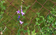 climbing the fence (EllaH52) Tags: summer sun plants flowers bluebells vicia sepium fence symmetry green