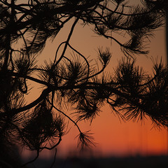 pine silhouettes later (Wendy:) Tags: offshoot summer photowalk greatsouthwall evening pine silhouettes