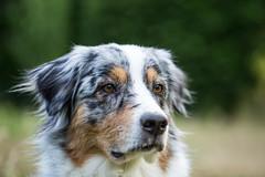 (Fotos aus OWL) Tags: aussie australianshepherd shepherd dog hund