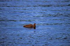 Loon (pierceladen) Tags: loon bird water nature willdlife minnesota