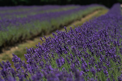 One more from Laveanne Lavender Farm (Wil James) Tags: lavender farm ontario sony colour summer blooms flower bees sonyilca99m2 macro tamron 90mm
