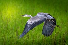 Legs to kill for (kellypettit) Tags: takeoff flight departure largewings birdlegs wingspan heron bigbird ricepaddies grass green japan gunma numata kellypettit