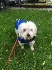 Moose (schnoodle) in Raincoat (seligmanwaite) Tags: raincoat schnoodle chicago