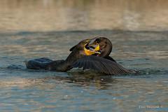 I'm gonna eat your face! (Earl Reinink) Tags: bird animal baby waterfowl feeding water reflection beak earl reinink earlreinink edaajaodza cormorant doublecrestedcormorant