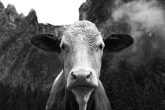 The Cow Edition │ First Contact (picsessionphotoarts) Tags: 50mm afsnikkor50mmf14g festbrennweite blackandwhite bw nikon nikond750 nikonfotografie nikonphotography bayern bavaria deutschland germany berchtesgaden berchtesgadenerland alpen mountains berge kuh cow germancow scharitzkehlalm neugierig curious