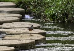20180708-0I7A7610 (siddharthx) Tags: 7dmkii bird birdwatching birding birdsinthewild bishanangmokiopark canon canon7dmkii ef100400f4556isii ef100400mmf4556lisiiusm nature singapore singaporeparks trek urbanbirds urbangreens landscape water wildlife migratory birdssg vulnerable wetlands marsh nparksbuzz whitebreastedwaterhen waterhen ef100400mmf4556lisii sg