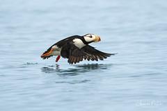 Lift Off (Sharon's Nature) Tags: puffin nationalgeographic imageoftheday birdsinflight wildlife bird bif alaska canon hornedpuffin fraterculacorniculata