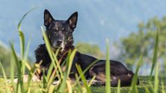 Eick caché derrière les roseaux (pascal548) Tags: chien