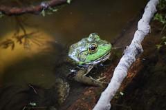 Pondlife (marensr) Tags: amphibian frog bullfrog water pond nature animal north park village center