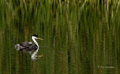 Chick is my co-pilot (Rick Derevan) Tags: bird duck fledgling grebe reflection santamargaritalake westerngrebe aechmophorusoccidentalis california sanluisobispocounty ngc