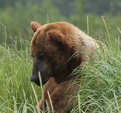 Alaska119 (lorstierlen) Tags: kodiak katmai nature bears wildlife seal