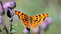 Comma Butterfly (doranstacey) Tags: nature wildlife insects comma butterfly kiveton woodland macro tamron 150600mm nikon d5300