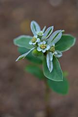 Euphorbia marginata (pstenzel71) Tags: blumen natur pflanzen euphorbiamarginata euphorbia wolfsmilch spurge flower darktable bokeh