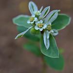 Euphorbia marginata thumbnail
