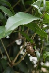 180720009 (murbozero) Tags: murbo japan cicada