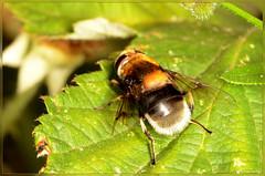 volucella bombylans (2) (bobspicturebox) Tags: himalayan balsam lady bird bugs slow worm musk beetle potato capsid shield bug larva snail fungus